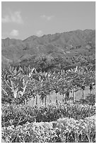 Fruit trees, hills, and mountains, Laie, afternoon. Oahu island, Hawaii, USA ( black and white)