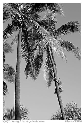 Coconut trees, with Samoan man climbing. Polynesian Cultural Center, Oahu island, Hawaii, USA (black and white)