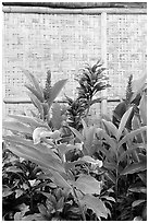 Wild ginger flower and wall of hut. Polynesian Cultural Center, Oahu island, Hawaii, USA (black and white)