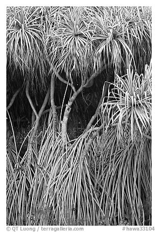 Pandanus trees (Hawaiian Hala). Oahu island, Hawaii, USA (black and white)