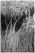 Pandanus trees (Hawaiian Hala). Oahu island, Hawaii, USA ( black and white)