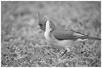 Bird with red head. Oahu island, Hawaii, USA (black and white)