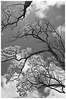 Branches of yellow trumpet trees  and clouds. Kauai island, Hawaii, USA (black and white)