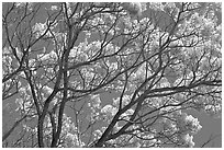 Yellow trumpet tree branches. Kauai island, Hawaii, USA (black and white)