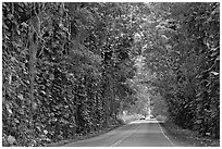 Road through  tree tunnel of mahogany trees. Kauai island, Hawaii, USA ( black and white)