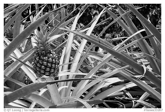 Pineapple, National Botanical Garden Visitor Center. Kauai island, Hawaii, USA (black and white)