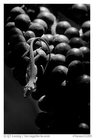 Lizard on fruit of tropical tree. Kauai island, Hawaii, USA (black and white)