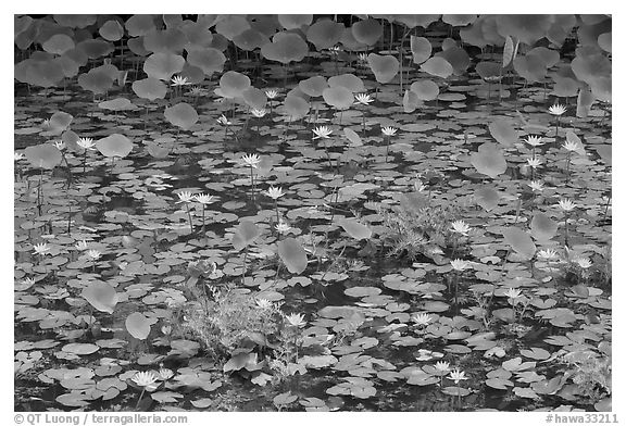 Rare blue flowers and water lilies. Kauai island, Hawaii, USA (black and white)