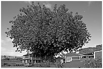 Banyan tree and house, Hanapepe. Kauai island, Hawaii, USA (black and white)