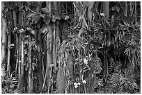 Banyan roots and tropical flowers, Hanapepe. Kauai island, Hawaii, USA (black and white)