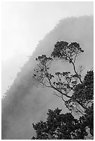Tree and mist, Kalalau lookout, late afternoon. Kauai island, Hawaii, USA ( black and white)
