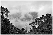 Trees and mist, Kalalau lookout, late afternoon. Kauai island, Hawaii, USA (black and white)