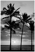 Palm trees, Kapaa, sunrise. Kauai island, Hawaii, USA (black and white)