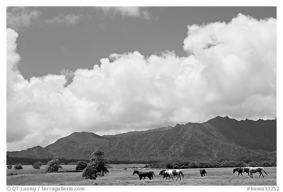 Horses in pasture near Anahola. Kauai island, Hawaii, USA (black and white)
