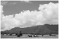 Horses in pasture near Anahola. Kauai island, Hawaii, USA ( black and white)
