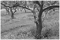 Guava trees in plantation. Kauai island, Hawaii, USA (black and white)