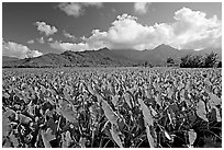 Pictures of Taro Cultivation