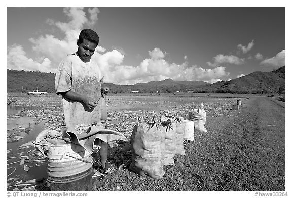 Plantation worker and bags of taro, Hanalei Valley, afternoon. Kauai island, Hawaii, USA (black and white)