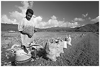 Plantation worker and bags of taro, Hanalei Valley, afternoon. Kauai island, Hawaii, USA ( black and white)
