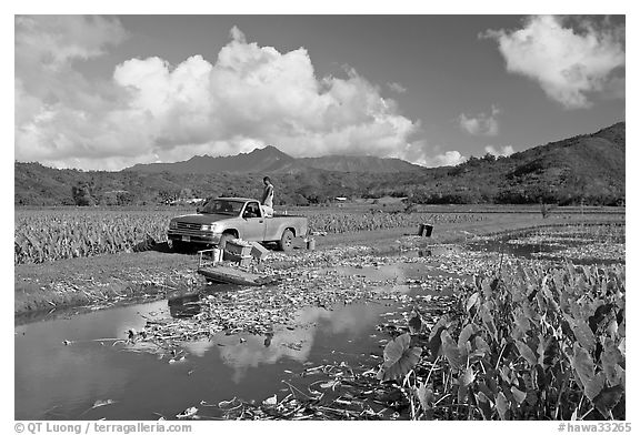 Plantation workers with truck, Hanalei Valley, afternoon. Kauai island, Hawaii, USA