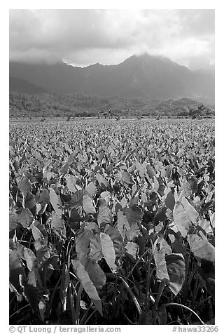 Taro field in Hanalei Valley, afternoon. Kauai island, Hawaii, USA (black and white)