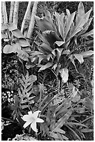 Tropical flower near Kee Beach. Kauai island, Hawaii, USA ( black and white)