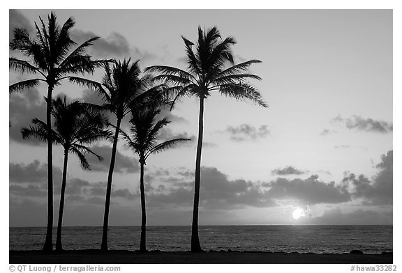 Coconut trees, Kapaa, sunrise. Kauai island, Hawaii, USA