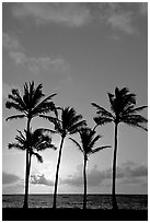 Cocunut trees, sunrise, Kapaa. Kauai island, Hawaii, USA (black and white)