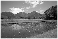 Taro patch in  Hanalei, morning. Kauai island, Hawaii, USA (black and white)