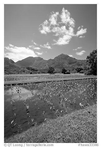 Taro field in  Hanalei, morning. Kauai island, Hawaii, USA (black and white)