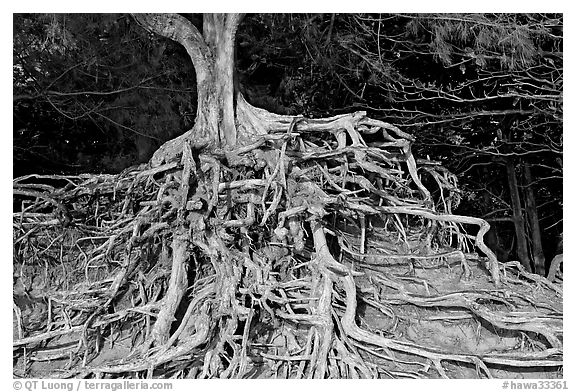 Roots of trees, Kee Beach, late afternoon. North shore, Kauai island, Hawaii, USA (black and white)