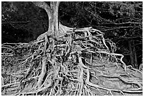 Roots of trees, Kee Beach, late afternoon. North shore, Kauai island, Hawaii, USA ( black and white)