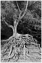 Tree with exposed roots, Kee Beach, late afternoon. North shore, Kauai island, Hawaii, USA ( black and white)