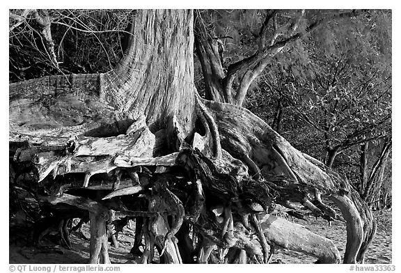 Exposed roots,  Kee Beach, late afternoon. North shore, Kauai island, Hawaii, USA (black and white)