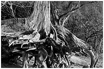 Exposed roots,  Kee Beach, late afternoon. North shore, Kauai island, Hawaii, USA ( black and white)