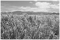 Field of sugar cane. Kauai island, Hawaii, USA (black and white)