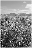 Sugar cane plantation. Kauai island, Hawaii, USA ( black and white)