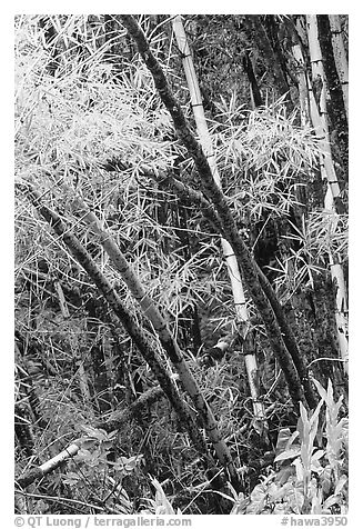 Lush grove of Bamboo. Akaka Falls State Park, Big Island, Hawaii, USA (black and white)