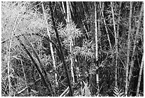 Bamboo trunks and leaves. Akaka Falls State Park, Big Island, Hawaii, USA (black and white)