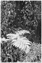 Ferns and leaves. Akaka Falls State Park, Big Island, Hawaii, USA (black and white)