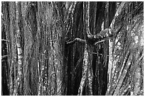 Banyan tree trunk. Akaka Falls State Park, Big Island, Hawaii, USA (black and white)
