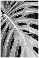 Big Tropical leaf. Akaka Falls State Park, Big Island, Hawaii, USA (black and white)
