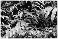 Flowers and ferns. Akaka Falls State Park, Big Island, Hawaii, USA (black and white)