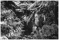 Waterfall amidst lush vegetation. Akaka Falls State Park, Big Island, Hawaii, USA (black and white)