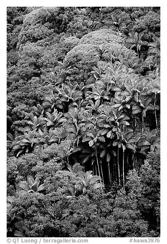 King palm trees and tropical flowers on hillside. Big Island, Hawaii, USA (black and white)