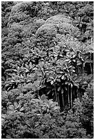King palm trees and tropical flowers on hillside. Big Island, Hawaii, USA ( black and white)