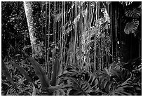 Lianas and tropical vegetation, Lava Trees State Park. Big Island, Hawaii, USA (black and white)