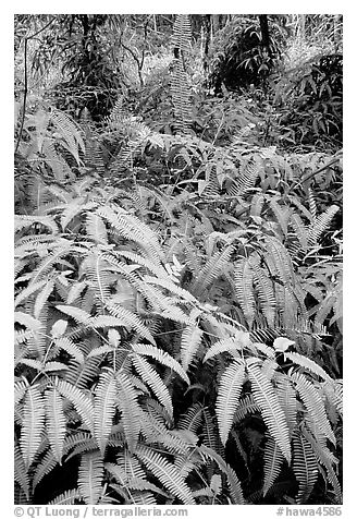 Tropical ferns, Lava Trees State Park. Big Island, Hawaii, USA (black and white)