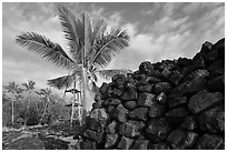 Heiau wall and palm tree, Kaloko-Honokohau National Historical Park. Big Island, Hawaii, USA (black and white)