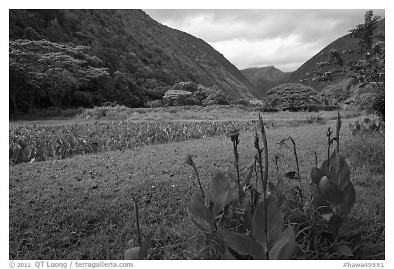 Tropical flowers and taro cultivation, Waipio Valley. Big Island, Hawaii, USA (black and white)
